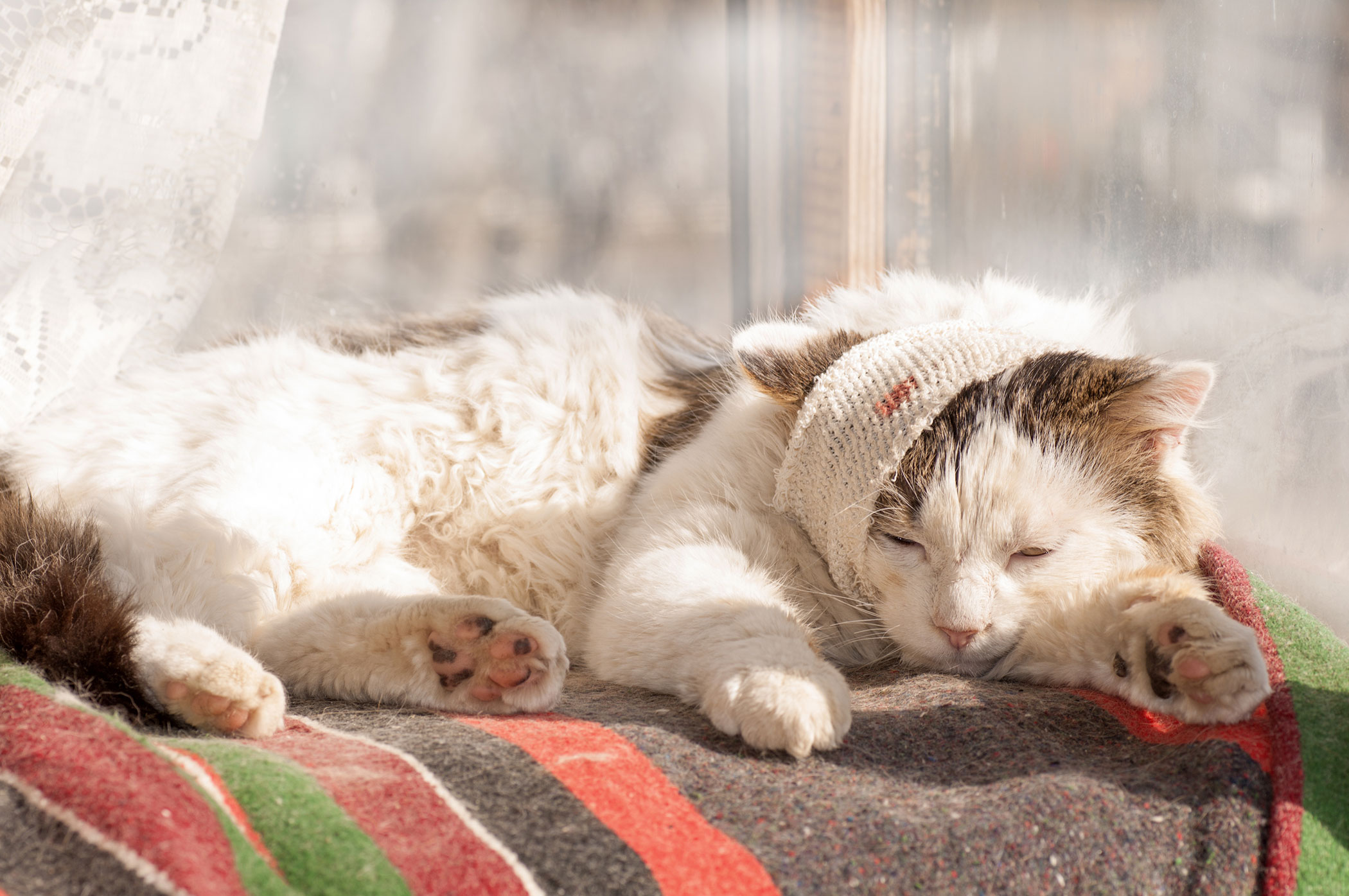 Bone Infection in Cats