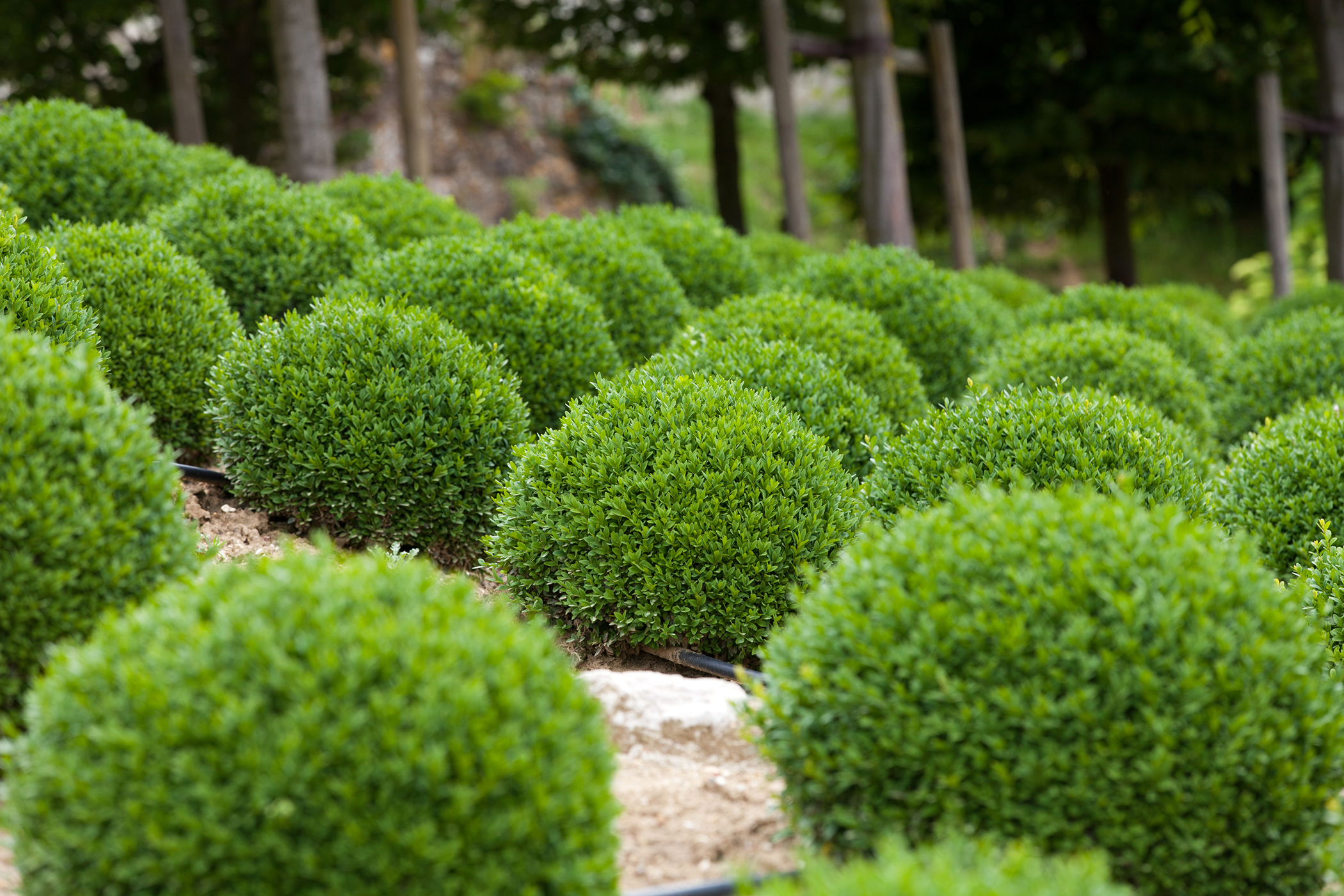 Boxwood Poisoning in Cats