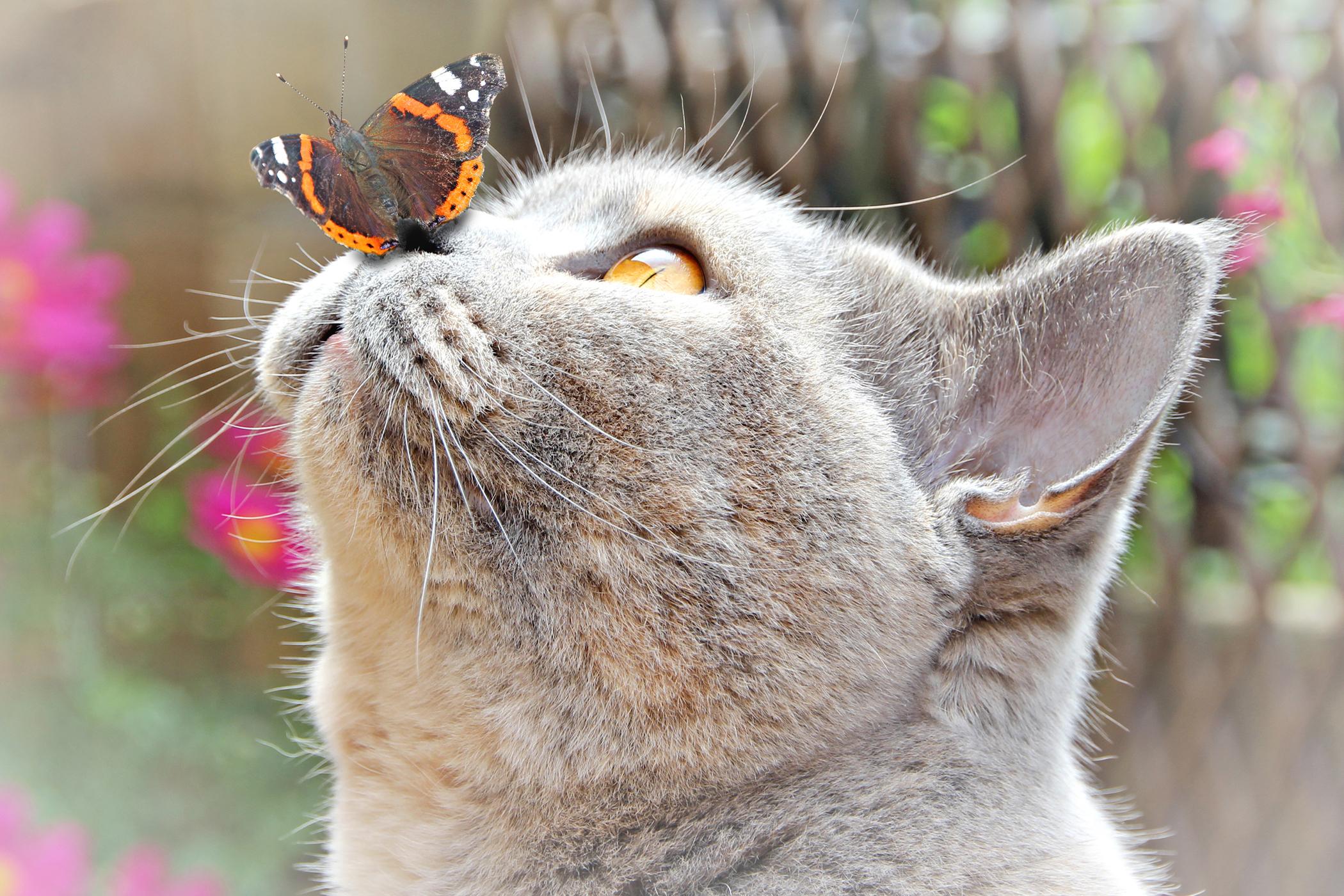 Brachycephalic Syndrome in Cats