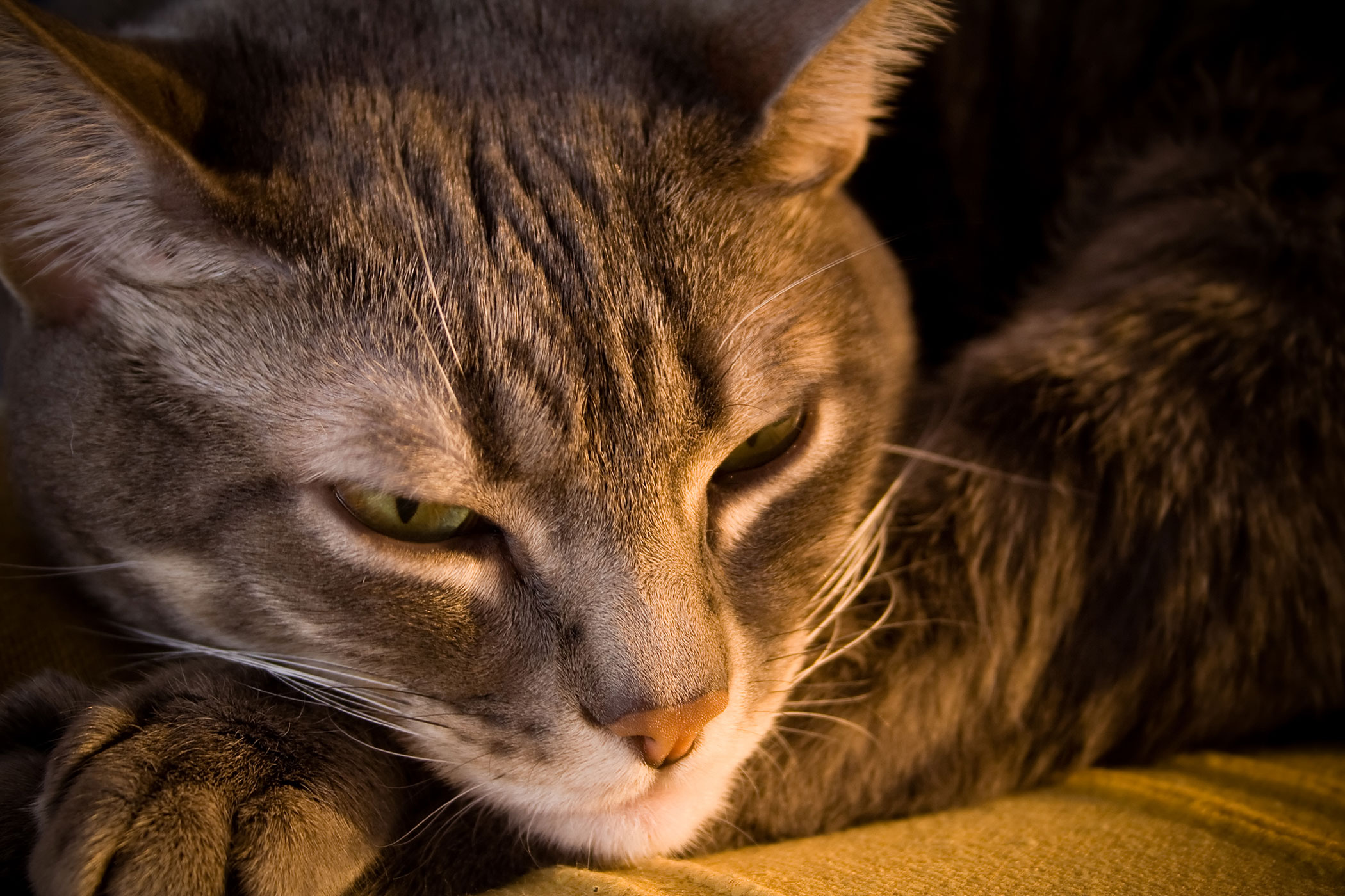 Brain Inflammation in Cats