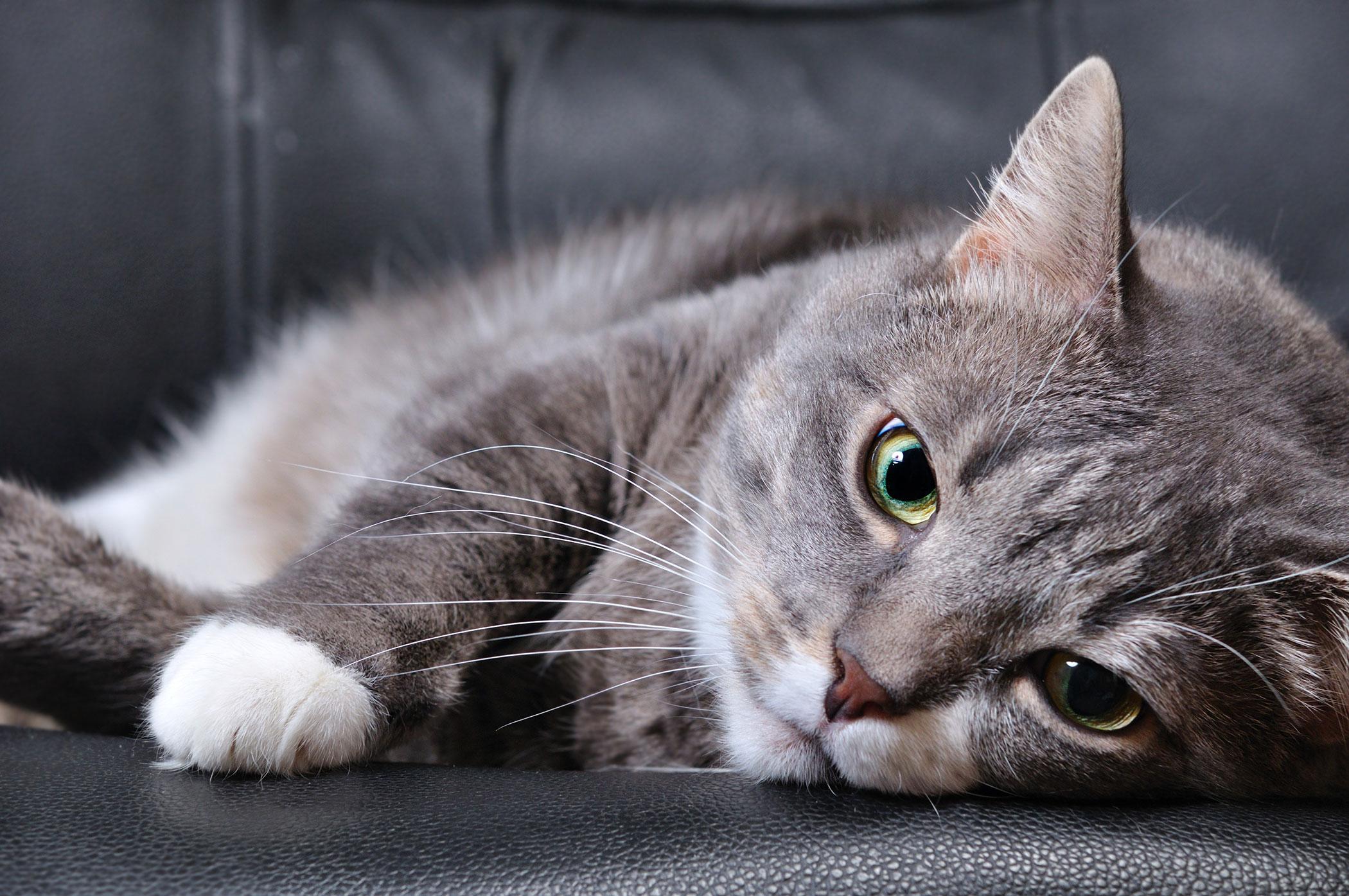 Brain Injury in Cats