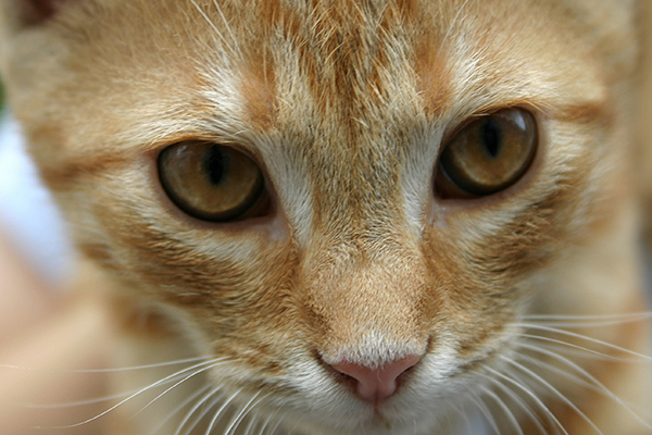 Bronchial Asthma in Cats