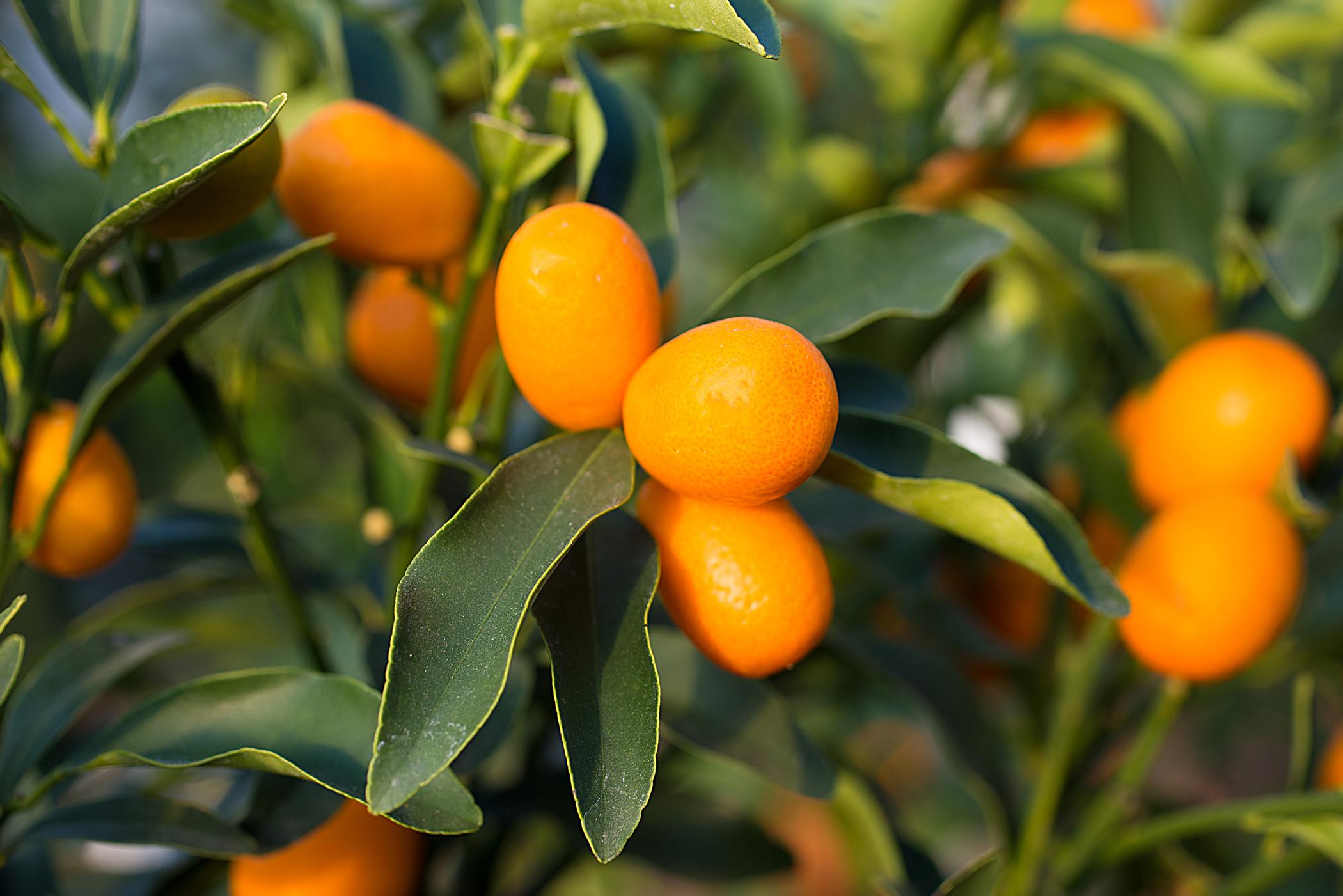 Calamondin Orange Poisoning in Cats