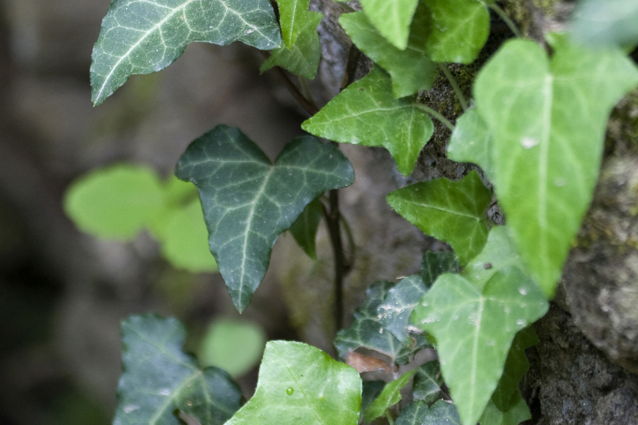 California Ivy Poisoning in Cats