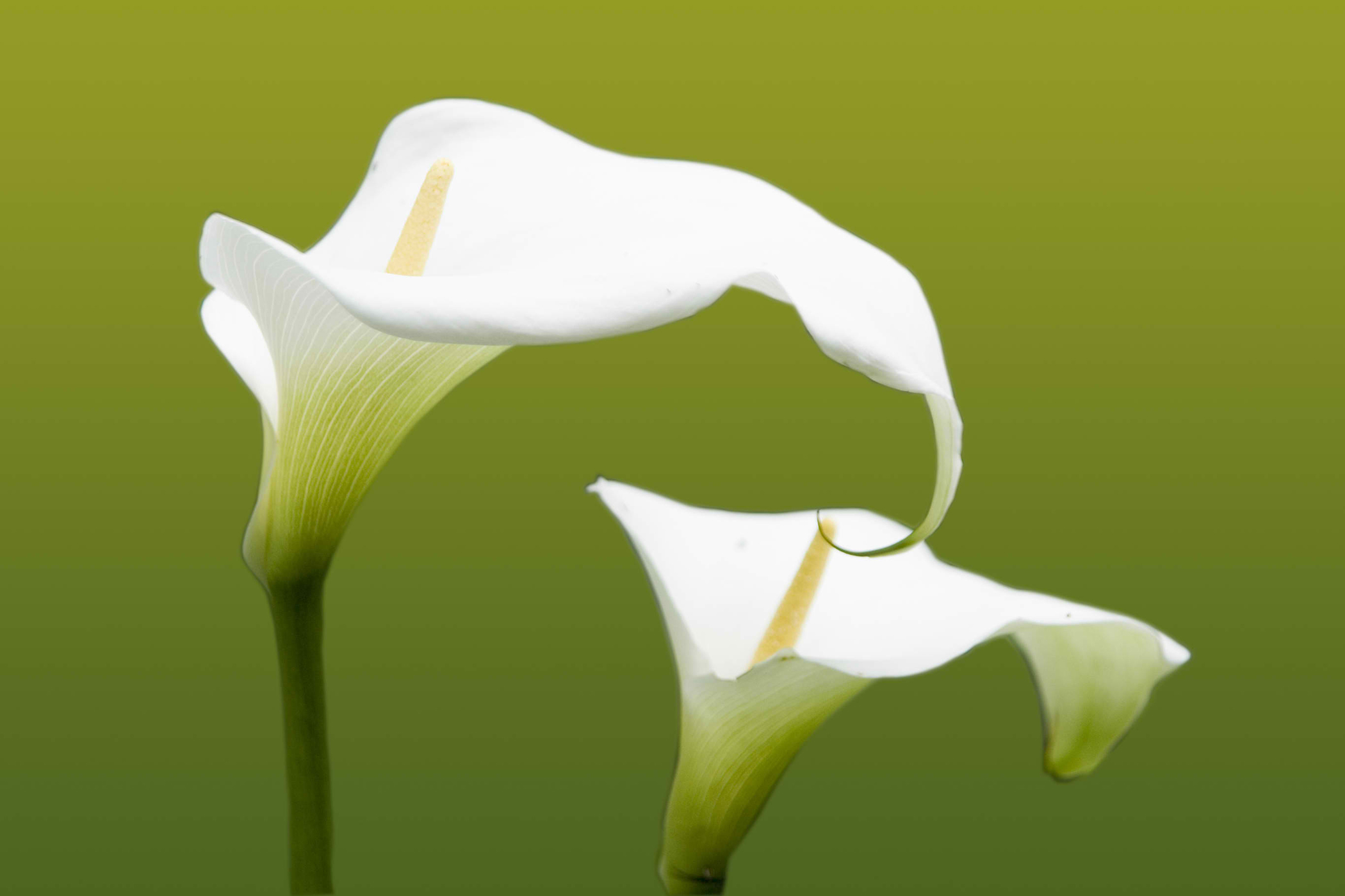 Calla Poisoning in Cats