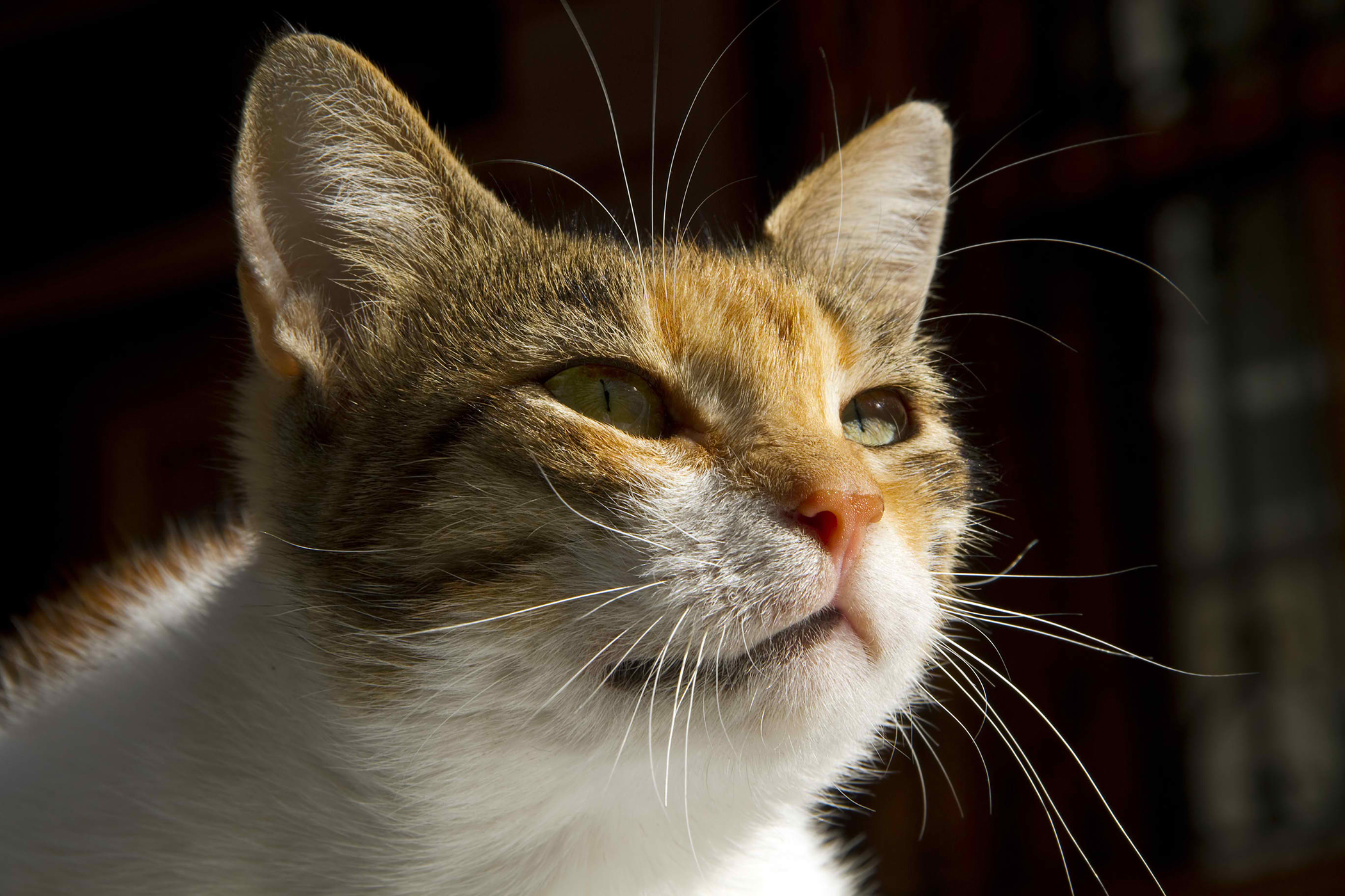Cancerous Lymphoid Cells in the Lungs in Cats