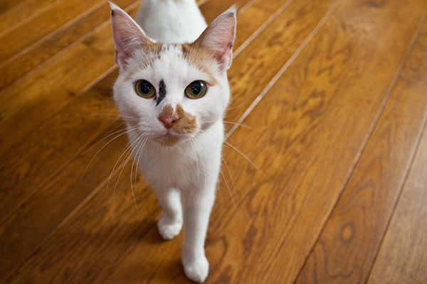 Carpal Hyperextension in Cats