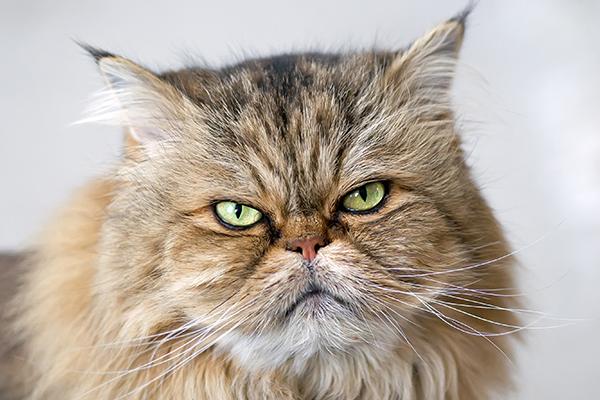 Cerebral Edema in Cats