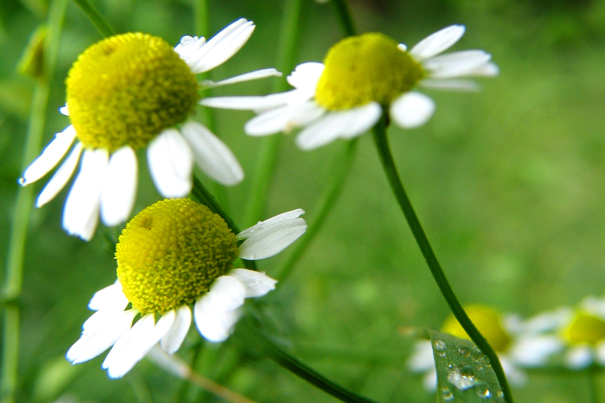 Chamomile Poisoning in Cats