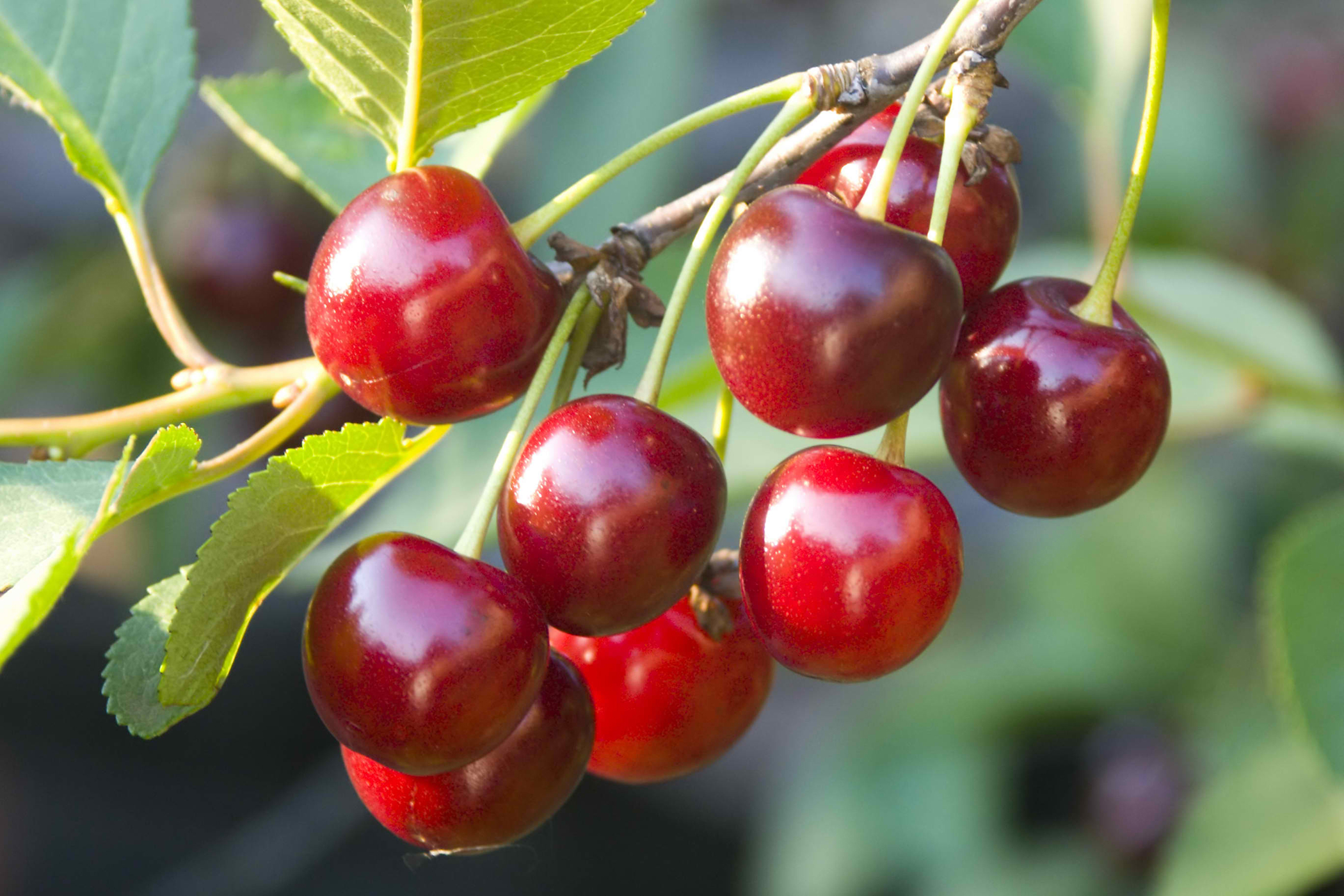 Cherry Poisoning in Cats