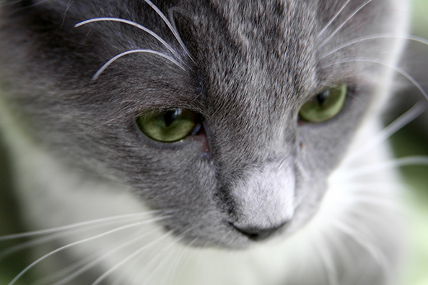 Cholangiohepatitis in Cats