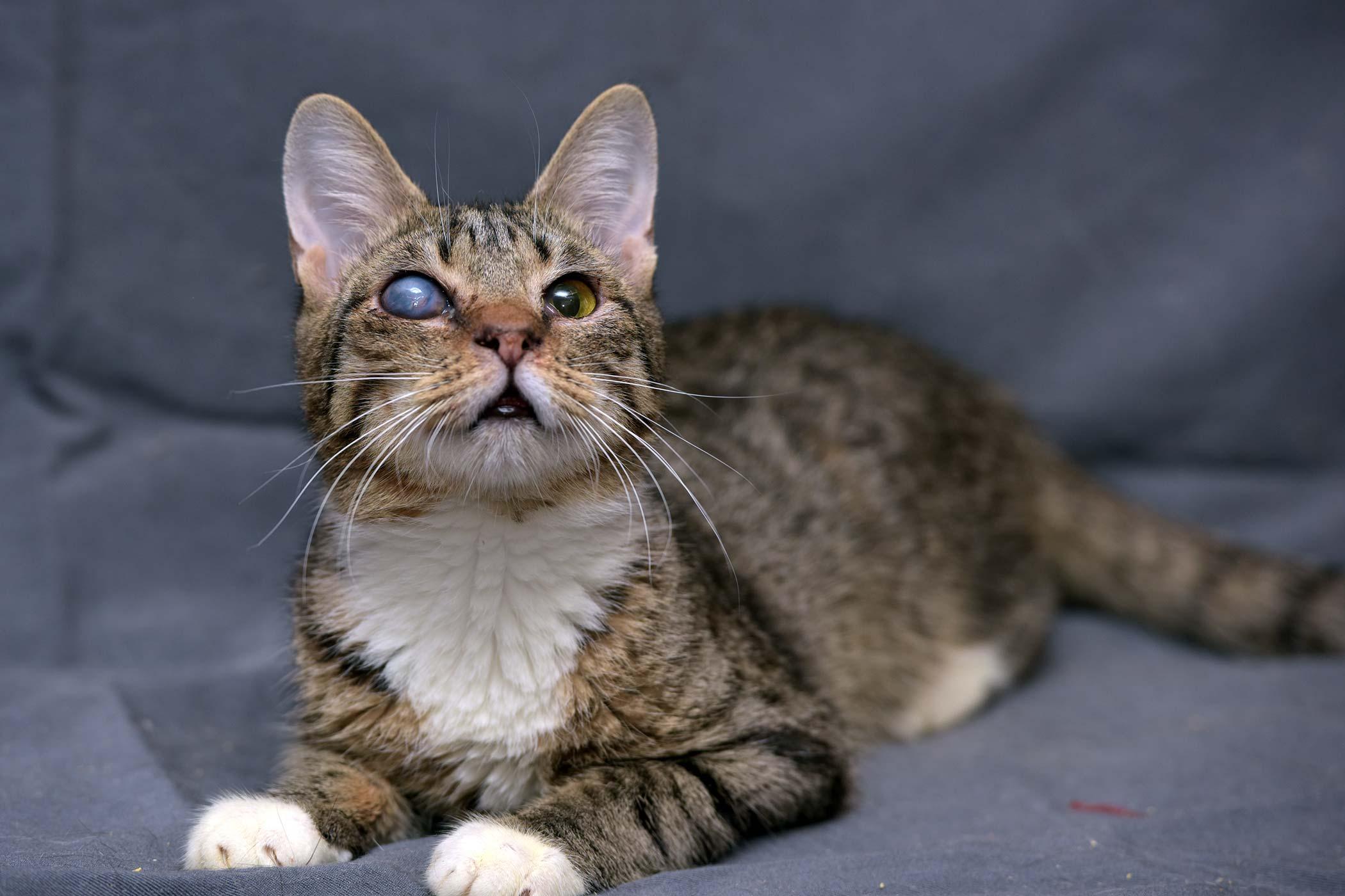 Chorioretinitis  in Cats