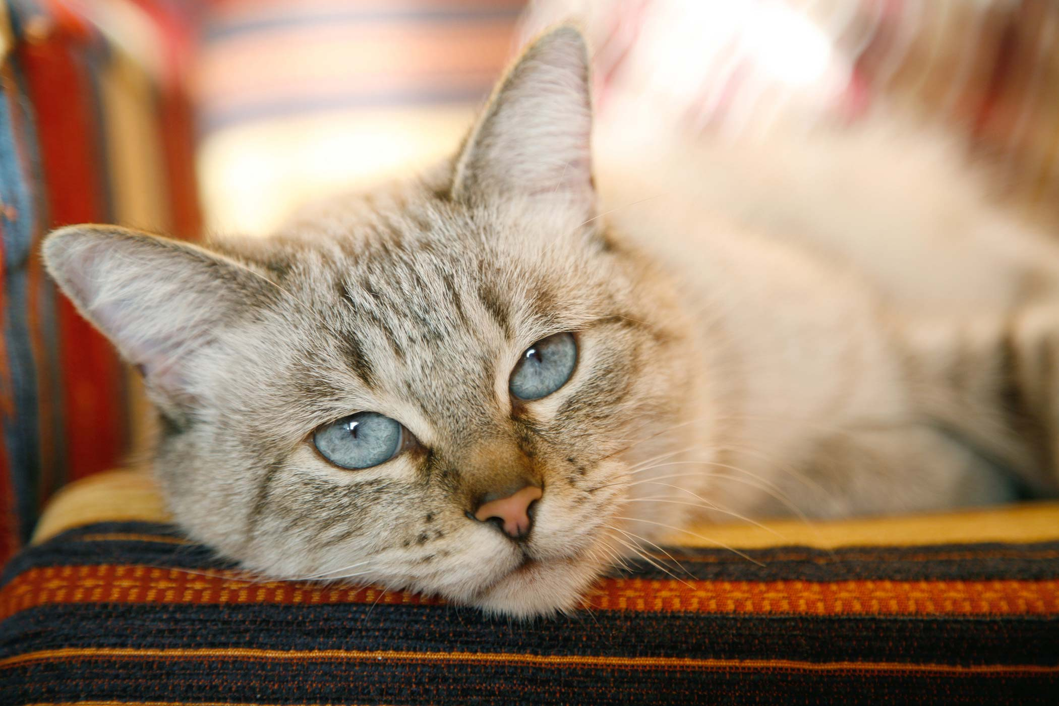 Cleft Palate in Cats