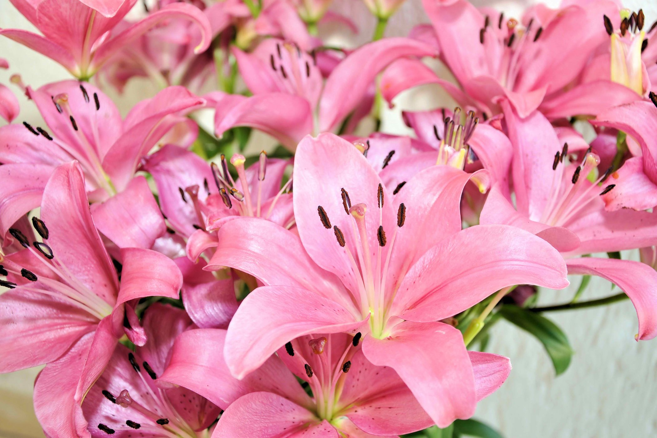 Climbing Lily Poisoning in Cats