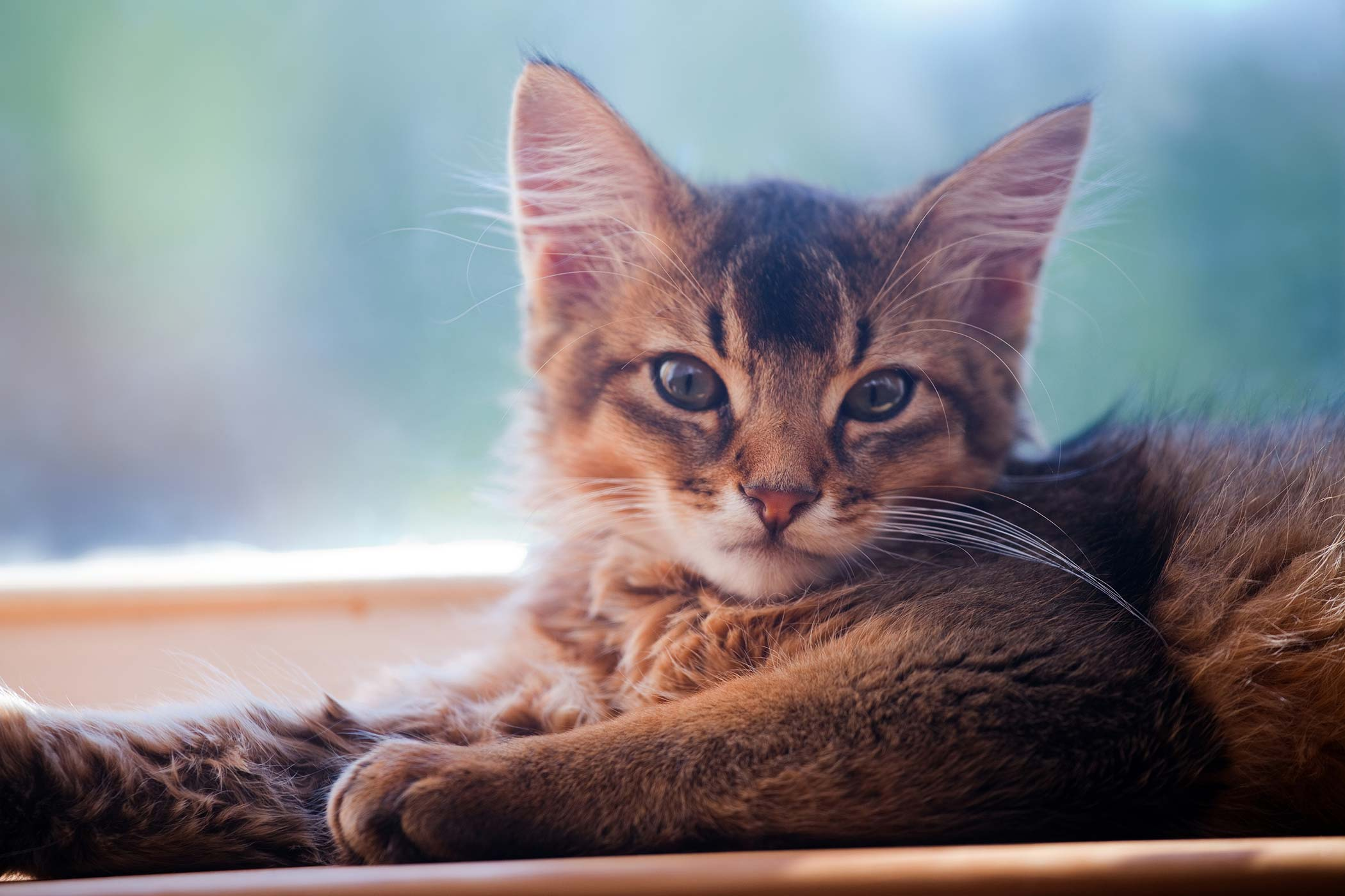 Clotting Disorders of the Platelets in Cats