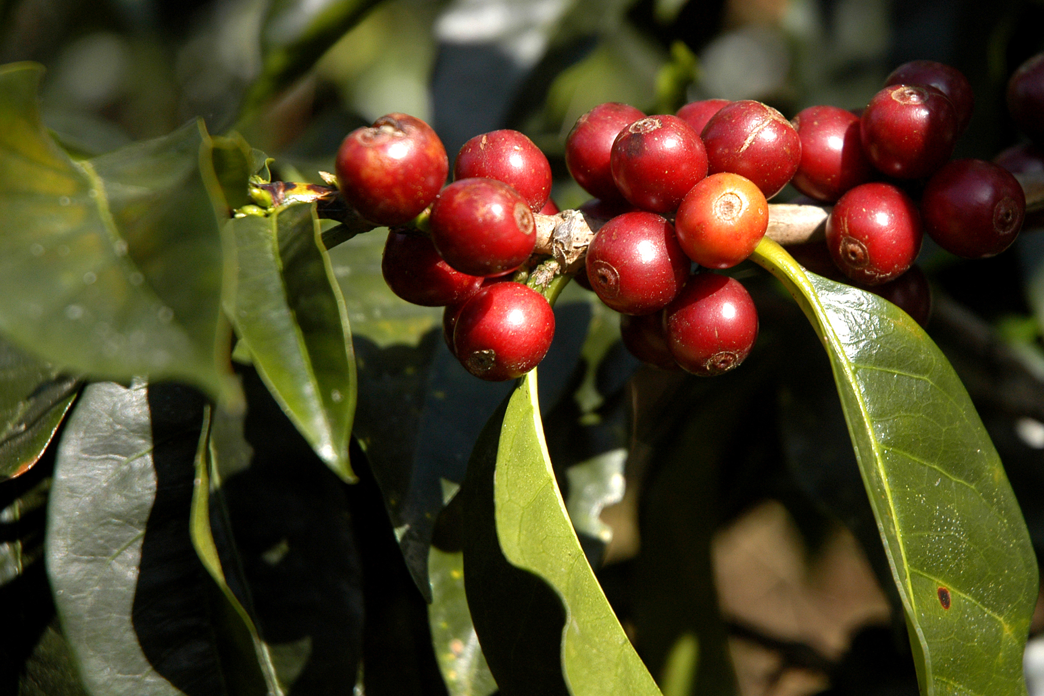 Coffee Tree Poisoning in Cats