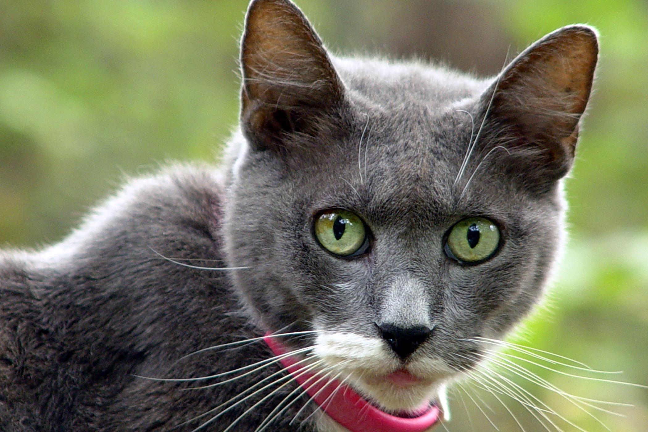 Collar Allergy in Cats