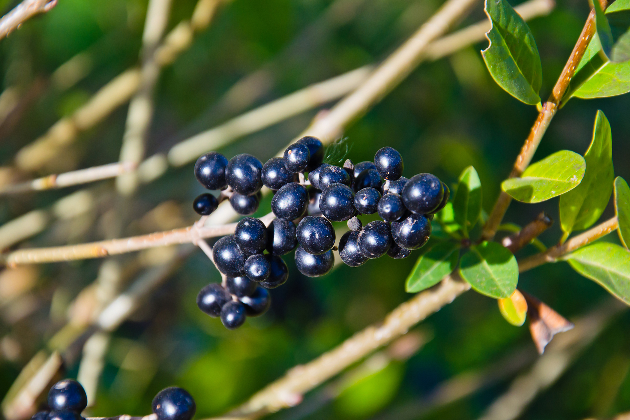 Common Privet Poisoning in Cats