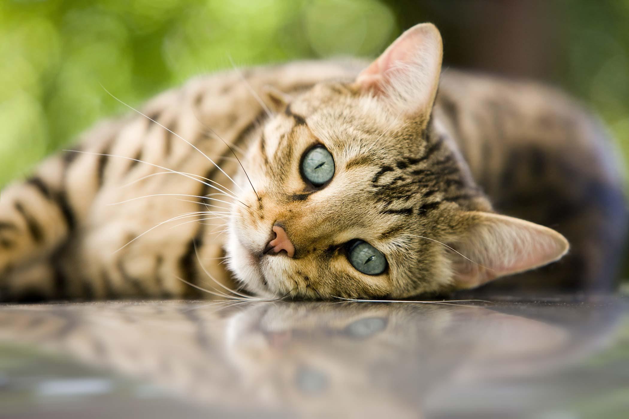 Congenital Heart Defects in Cats