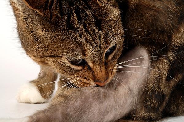 Contact Dermatitis in Cats