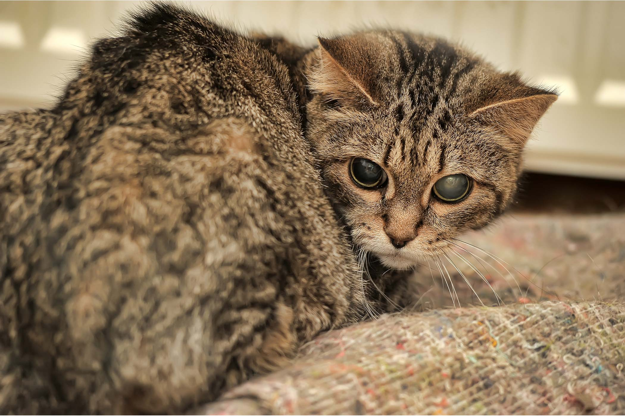 Corneal Disease in Cats