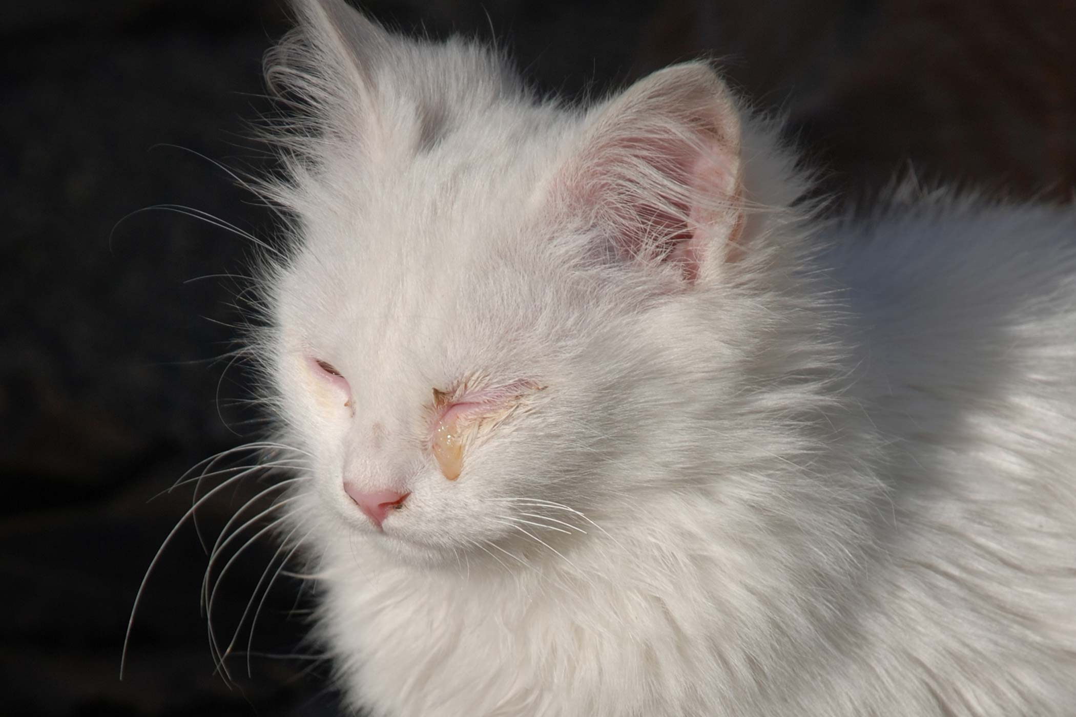 Corneal Inflammation in Cats