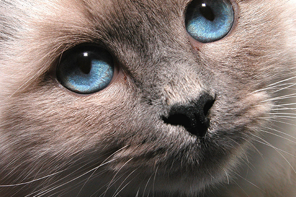 Corneal Laceration in Cats