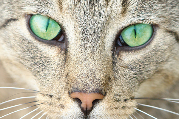 Corneal Sequestrum in Cats