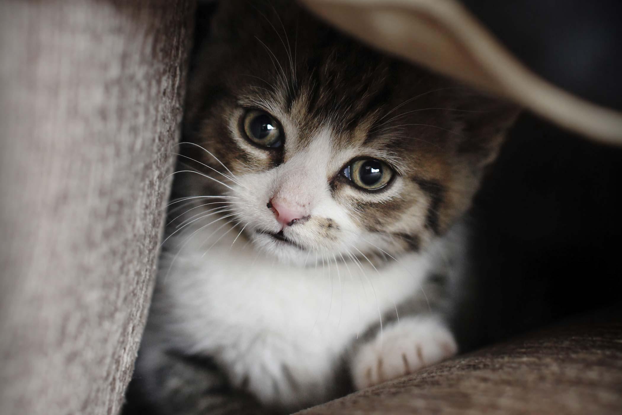 Cushing's Disease in Cats