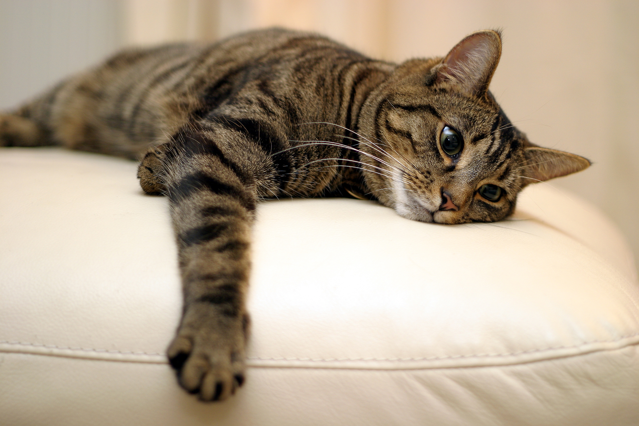 Cystic Endometrial Hyperplasia in Cats