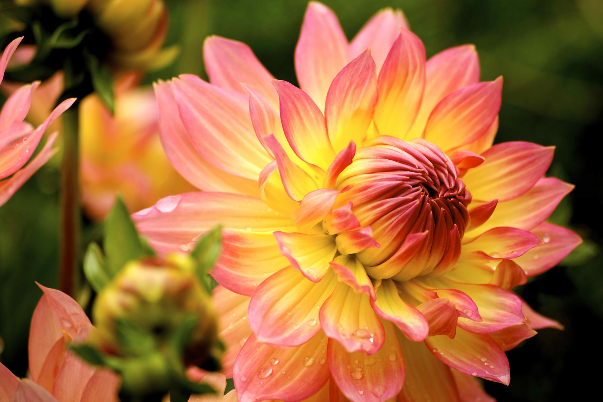 Dahlia Poisoning in Cats