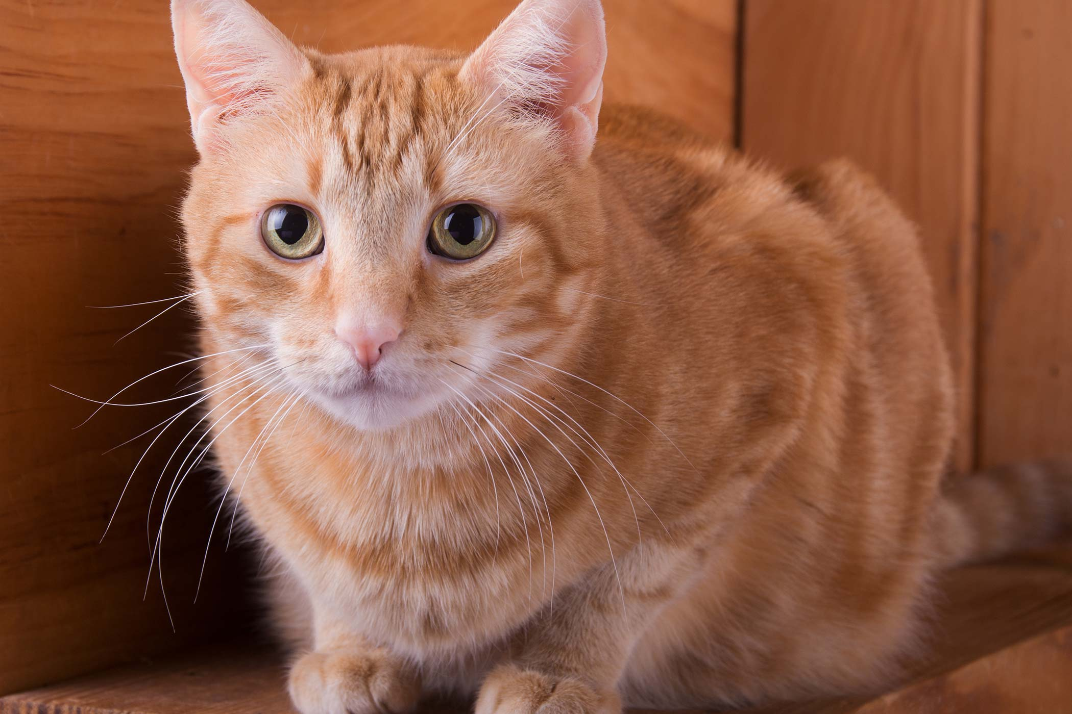 Deafness in Cats