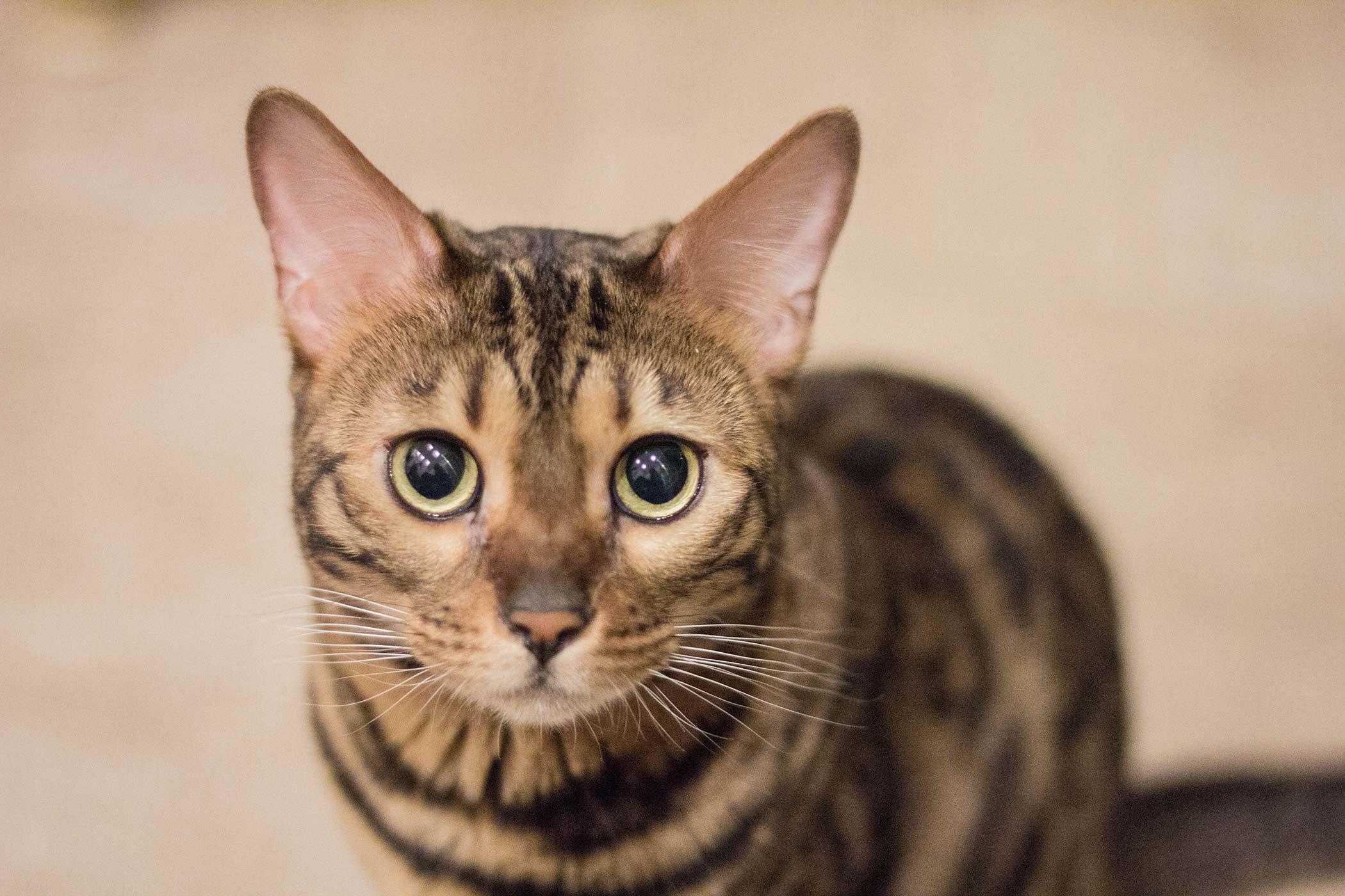 Degeneration of the Cornea in Cats