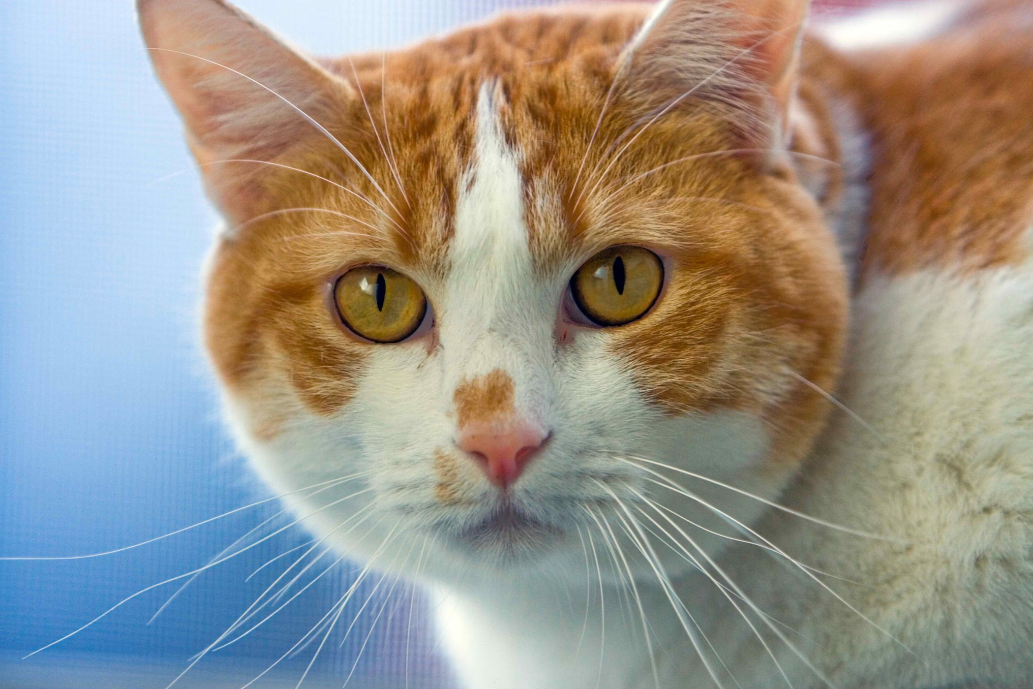 Depigmentation Disorders in Cats