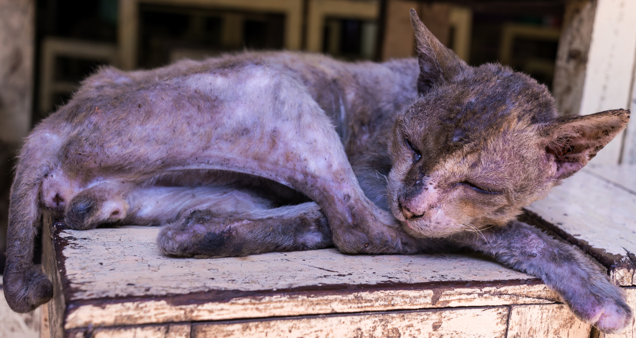 Dermatophagoides Farinae Allergy in Cats