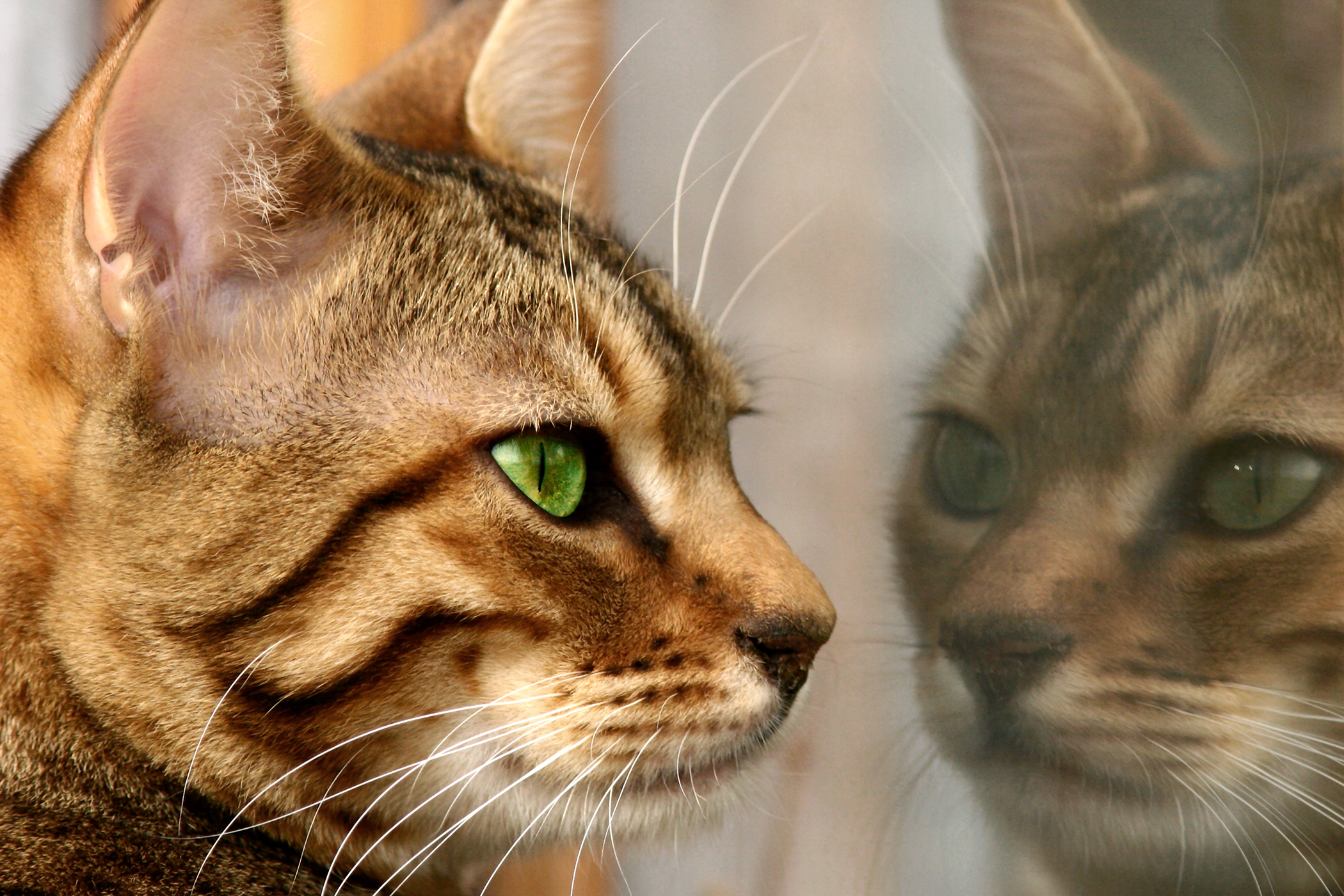Dermoids in the Eye in Cats - Symptoms, Causes, Diagnosis, Treatment, Recovery, Management, Cost
