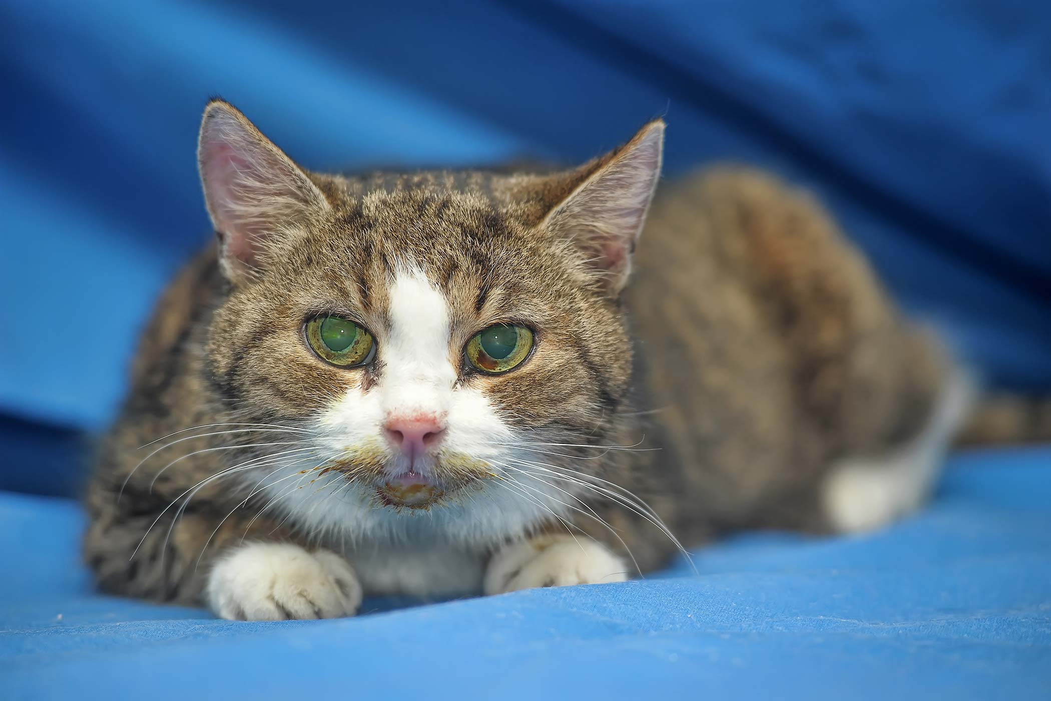 Dislocated Eye Lens in Cats