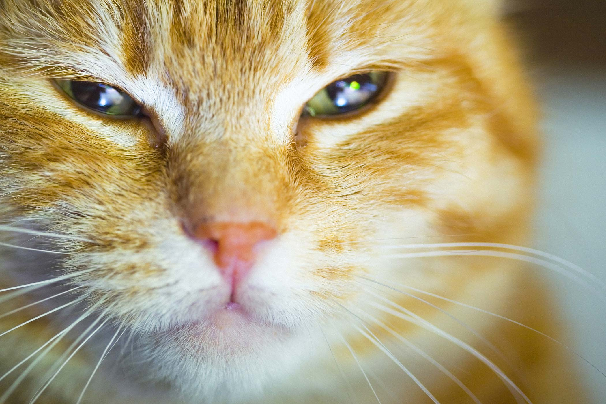 Droopy Eye in Cats