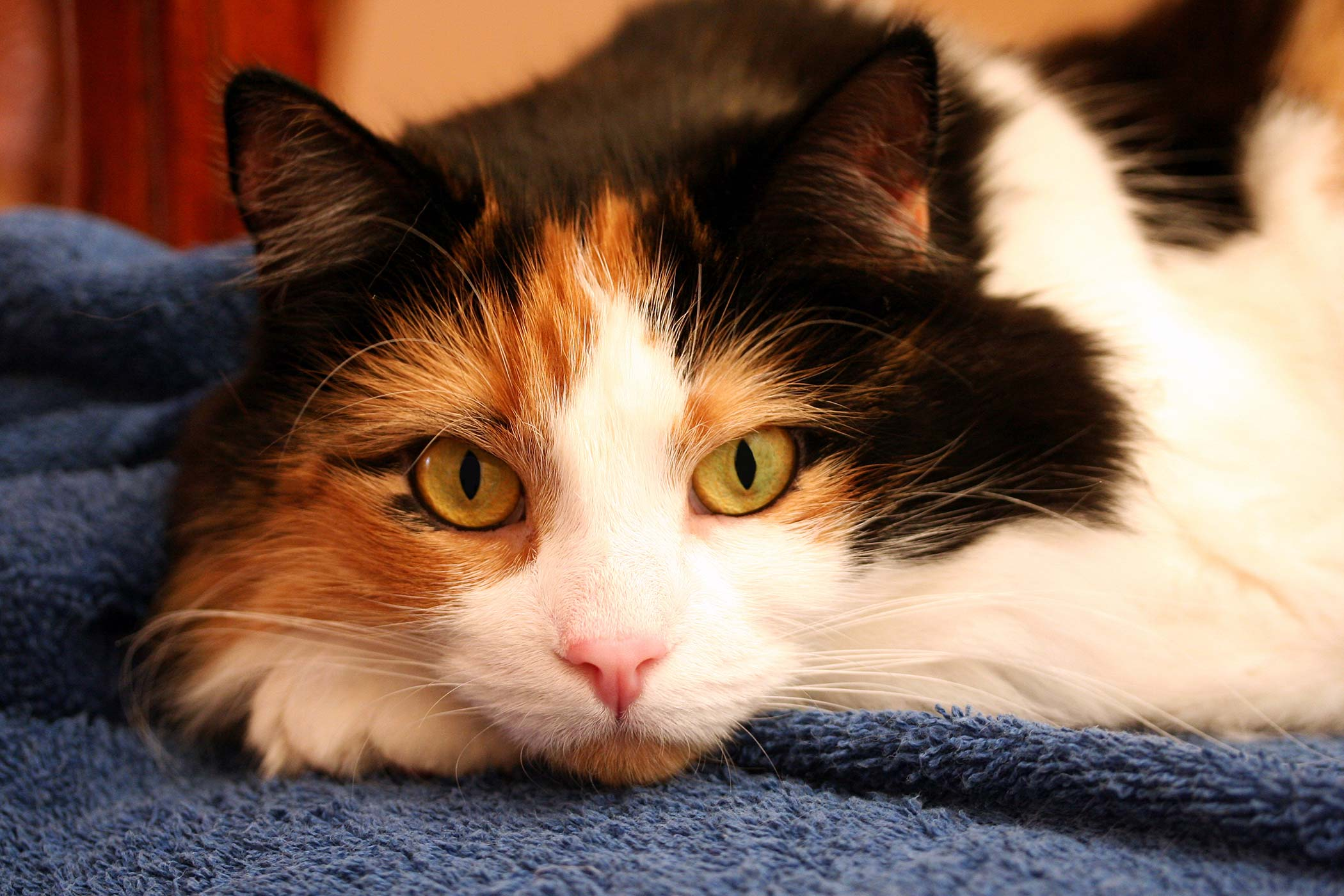 Dry Eye Syndrome in Cats
