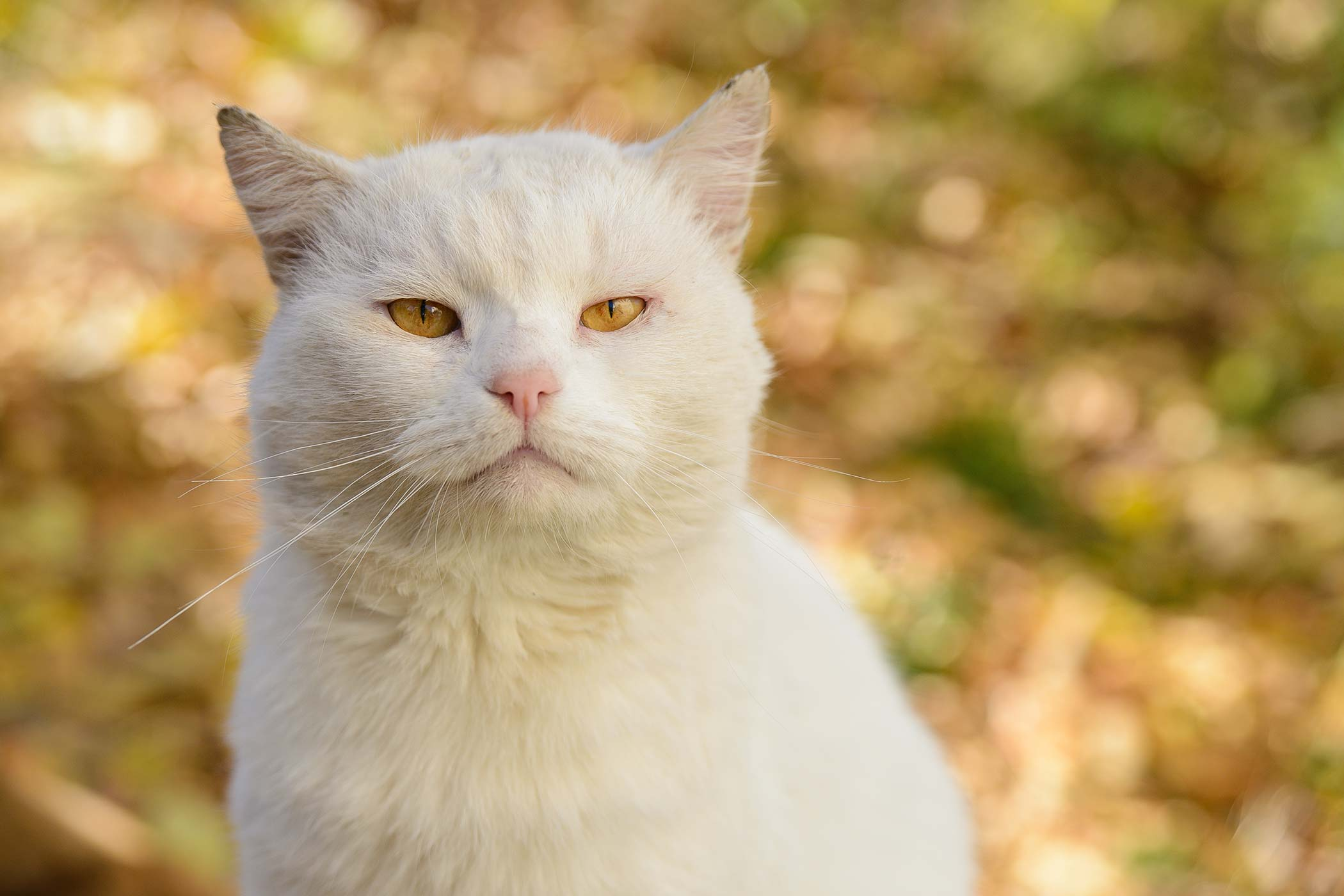 Ear Cancer in Cats