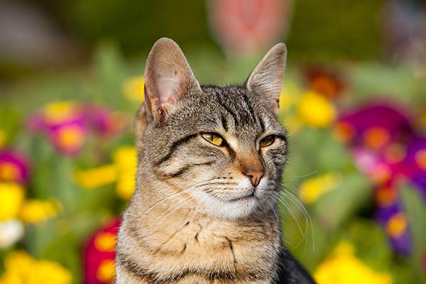 Ear Dermatitis in Cats