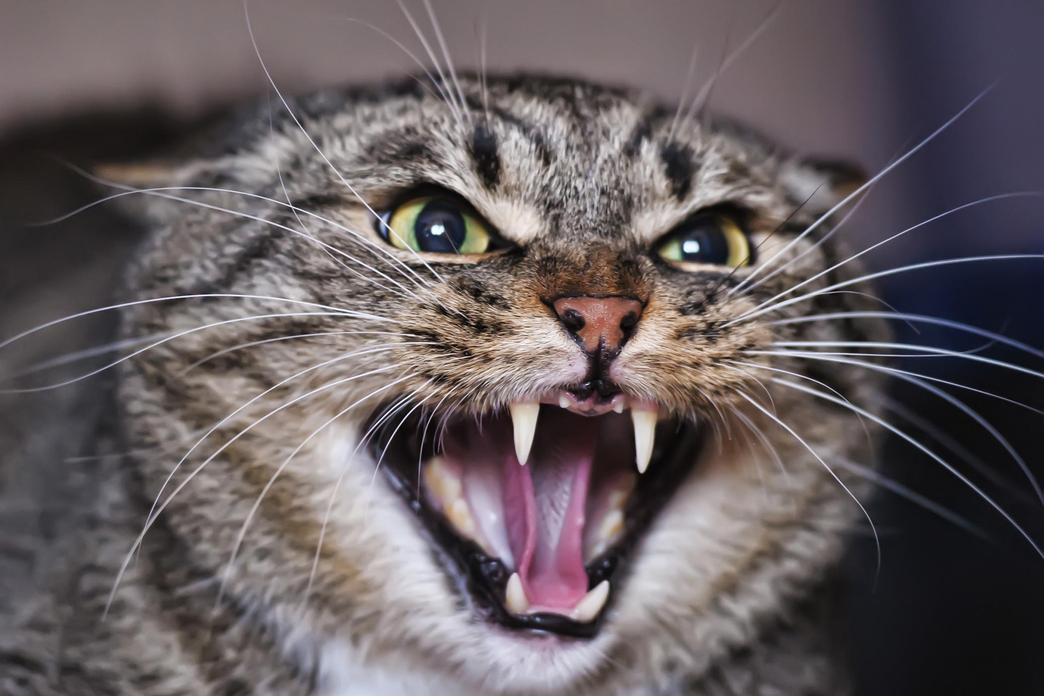 Enamel Allergy (Stomatitis) in Cats