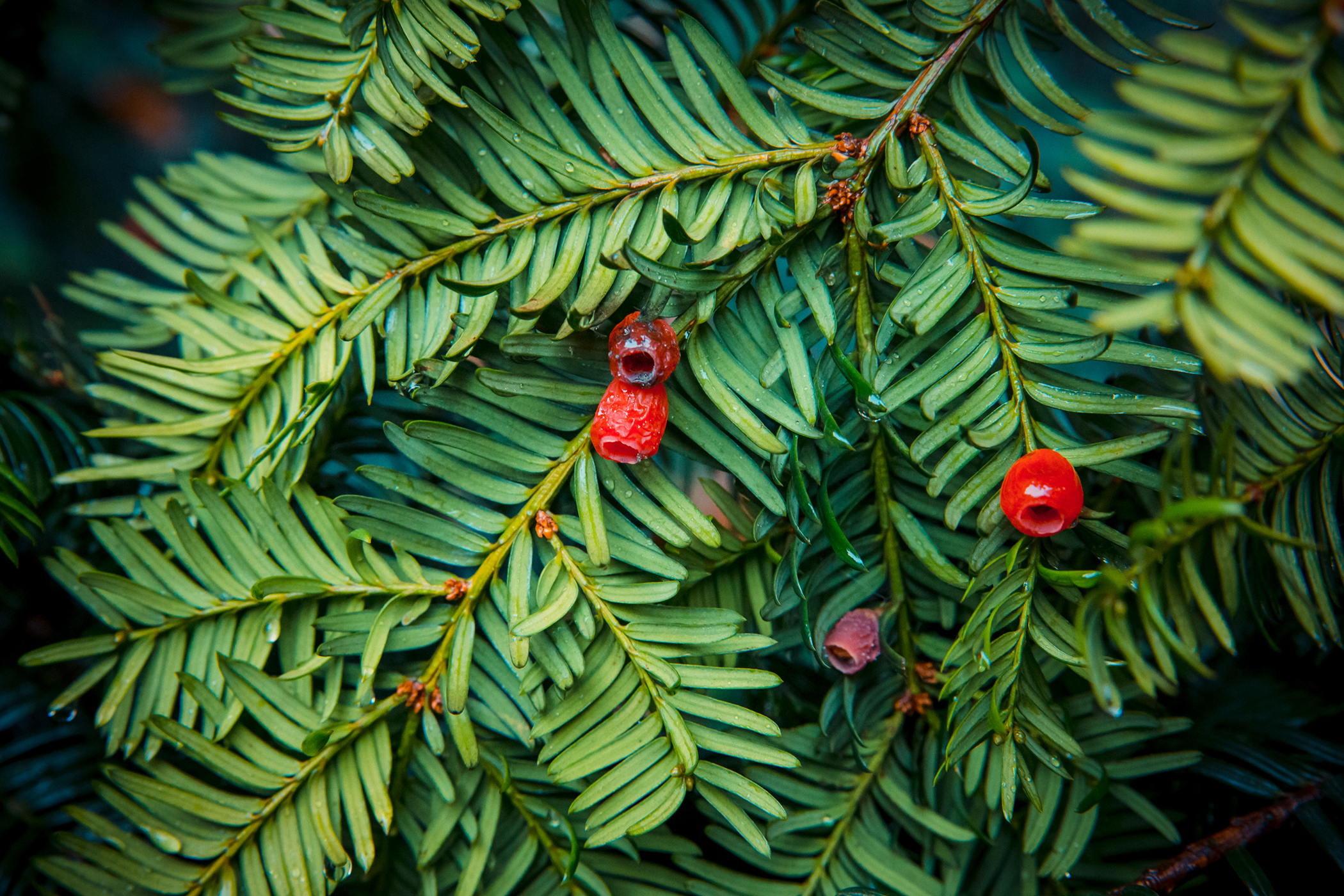English Yew Poisoning in Cats