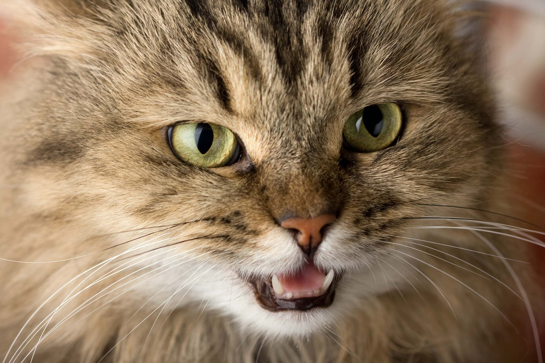 Enlarged Gums in Cats