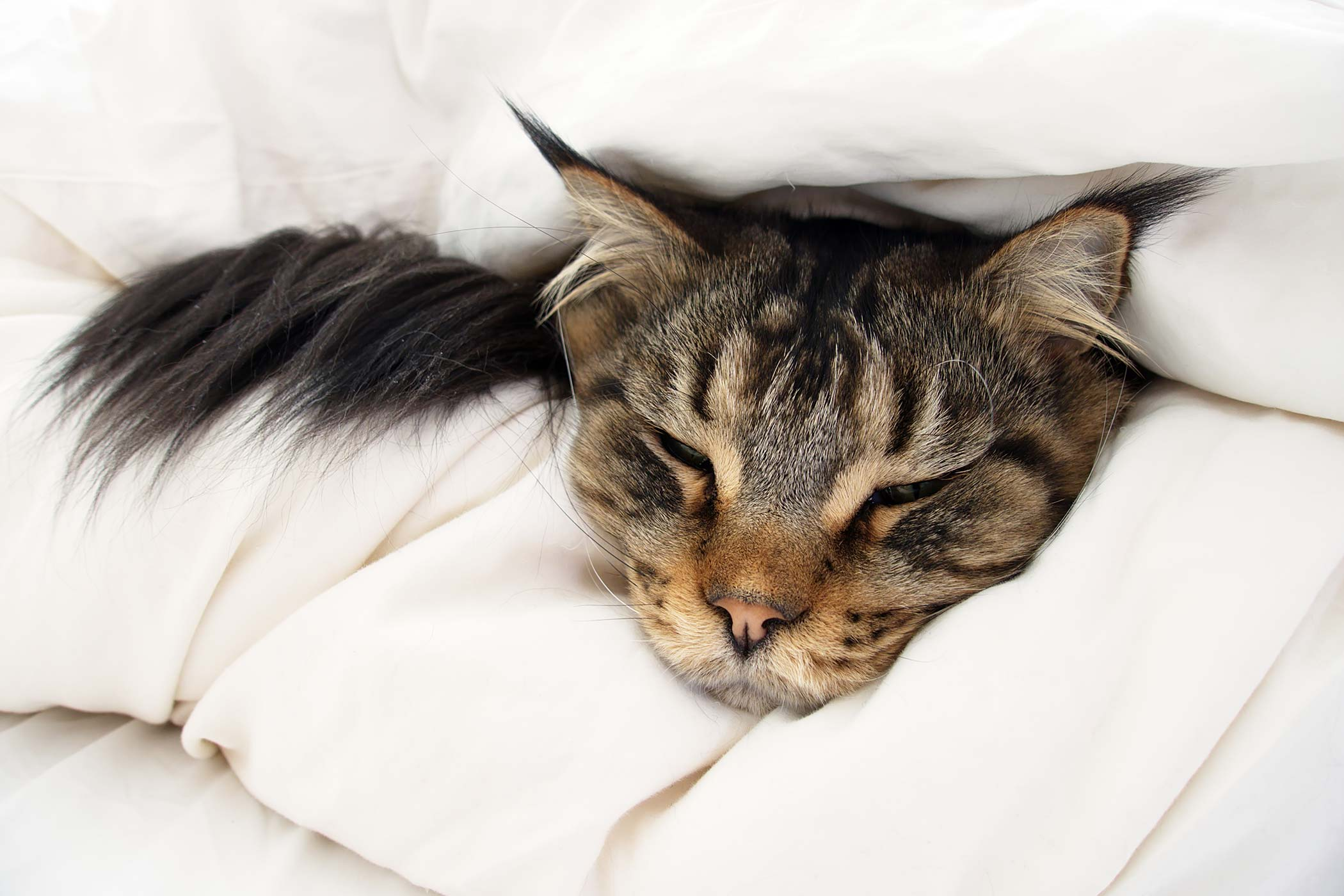 Epileptic Seizures in Cats
