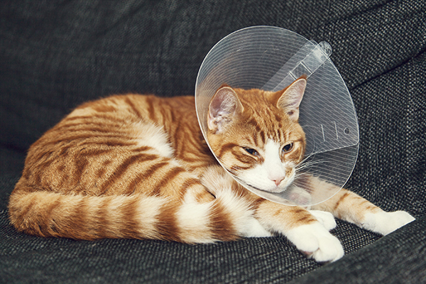 Estrus Symptoms after Spaying in Cats