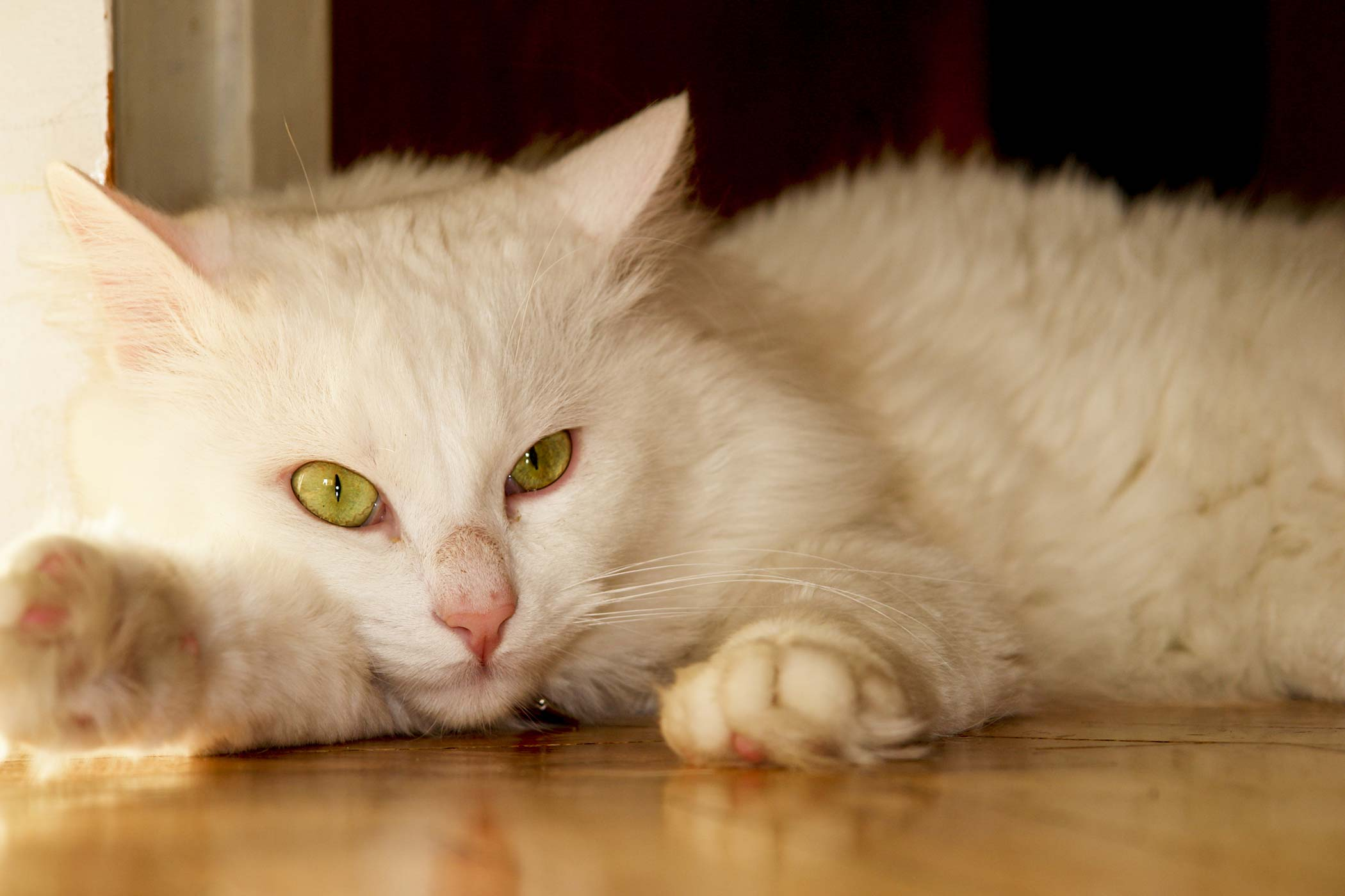 Excess Carbon Dioxide in the Blood in Cats