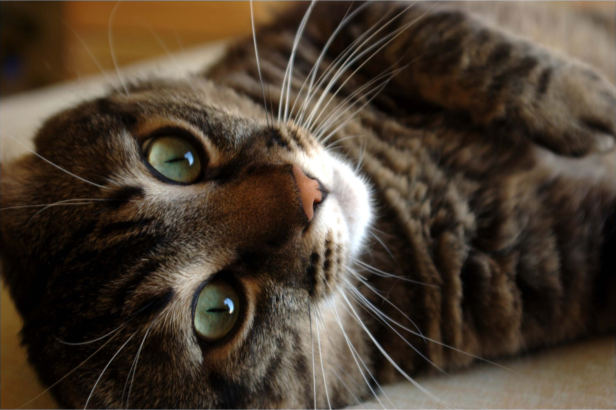 Excess Iron in the Blood in Cats