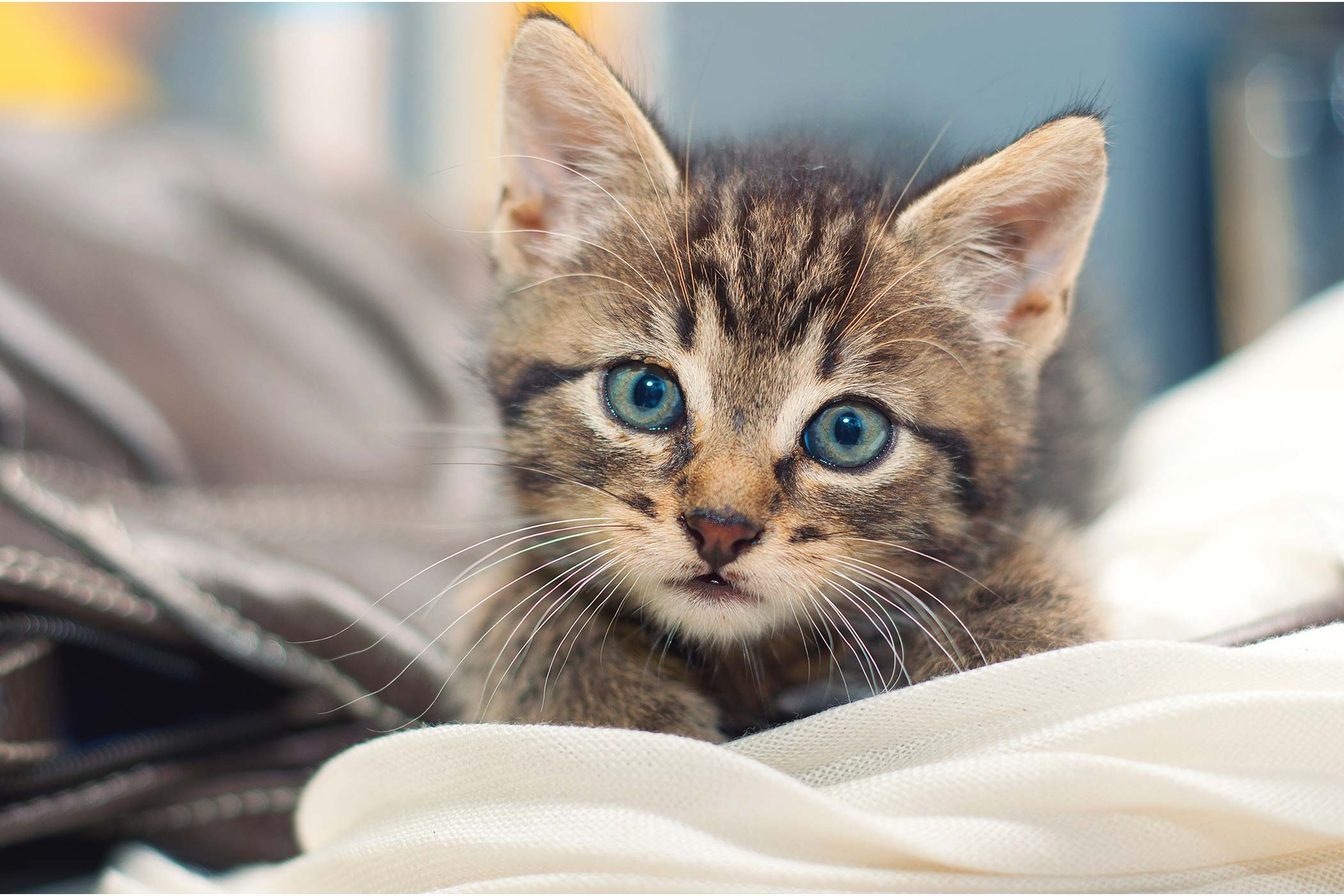 Eyelid Protrusion (Cherry Eye) in Cats