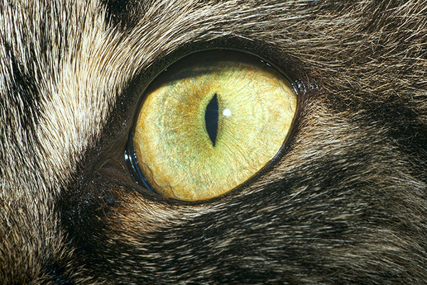 Eyelid Tumors in Cats
